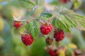 Hur man identifierar vilda hallon växter