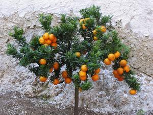 Texas Citrus träd