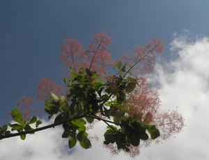 Vad är skillnaden mellan en lila rök Bush & ett lila rök träd?