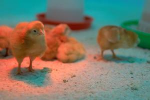 Göra en hemmagjord kyckling inkubator från ett akvarium
