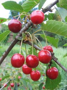 Sorterna av körsbärsträd