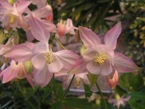 Innebörden av blomma Columbine