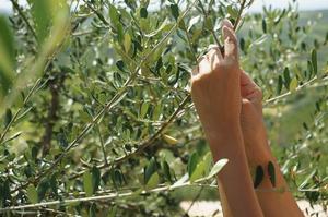 Behöver olivträd cross pollinering?