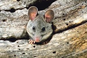 Hur man dödar en råtta fastnat i en lim fälla