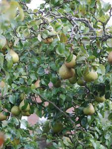 Hur man startar en Pear Tree utsäde växt
