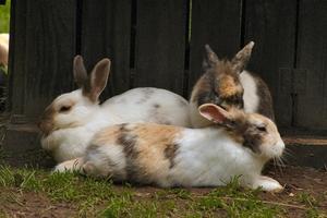 Hur att behandla skabb & kvalster för kaniner