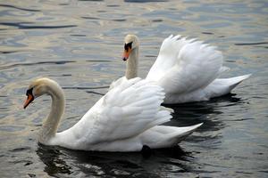 Origami Swan riktningar