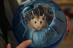 Hur man tar hand om dvärg Hamster spädbarn