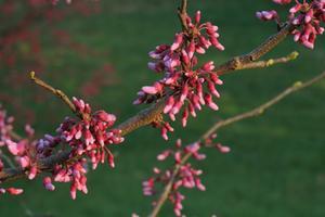 Skugga kärleksfulla prydnadsträd