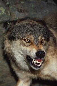 Hur man drar en galen varg