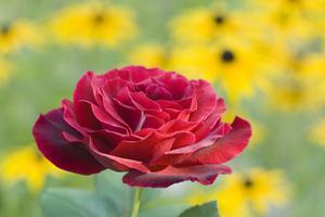 Marktäckande växter för Under rosor