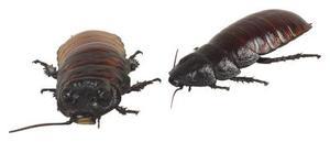 Eteriska oljor som driva tillbaka och döda loppor fästingar kackerlackor & vägglöss