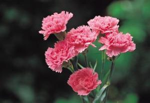 Hur man odlar Dianthus från sticklingar av blommor & frön