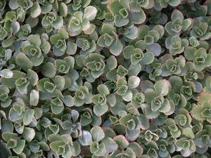 Växterna att växa mellan Stepping Stones