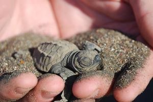 Hur man mata en bebis Snapper sköldpadda