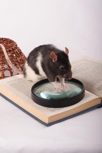 Hur man bygger en råtta lekplats