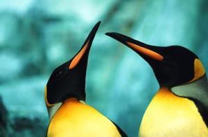 Skillnader mellan manliga och kvinnliga kejsarpingviner