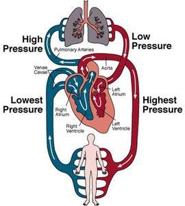 Hur fungerar den mänskliga cirkulationssystemet?