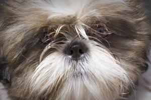 Hud cystor i Pekingese eller Shih Tzu hundar