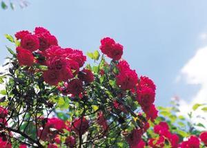 Hur nära anläggningen Knock Out Rose buskar