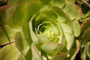 Hur sprider öken cactus rosor