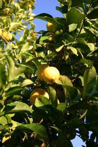 Tips om beskärning Dwarf fruktträd