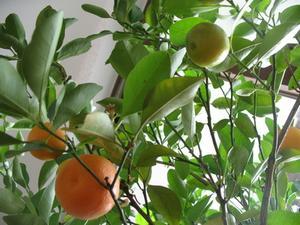 De bästa Dwarf fruktträd