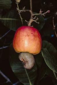 Hur lång tid tar det för cashewnötter att växa?