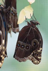 Fakta om Caterpillar kokonger