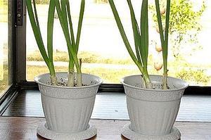 Hur man odlar vårlök inomhus
