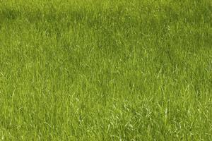 Hur man styr råg gräs
