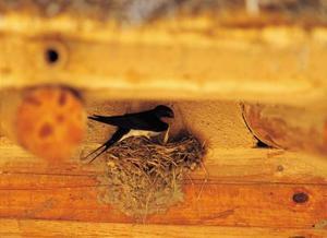 Hur att avskräcka sväljer från att bygga bon