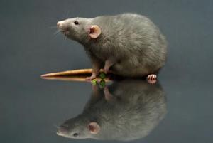 Hur tar man bort en råtta boet