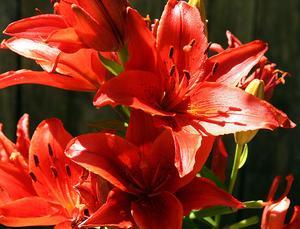 Hur till omsorg for asiatiska liljor