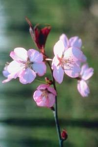 Hur man tecknar Cherry Blossoms steg för steg