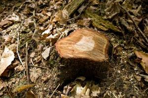Hur man bränner ut trädrötter med Kopparvitriol