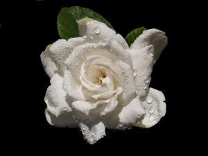 Vilken sorts mat behöver gardenia växter?