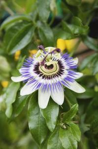 Hur kan man förhindra larver från att äta min Passion vinstock