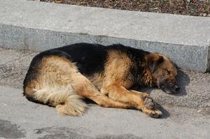 urinsten på hund