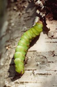 Hur man dödar lilla gröna trädgård larver