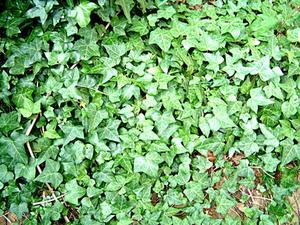 Hur man gör små Ivy växter för ett dockskåp