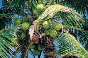 Kokosmjölk Vs. kokos vatten