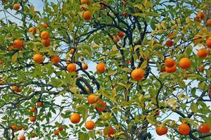 Hur till omsorg for en Tangerine träd