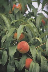 Hur sprider persikoträd för att bära frukt