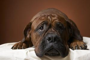 Symtom av mjälte tumörer hos hundar