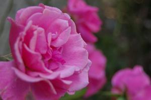 Hur till omsorg for Knockout Rose buskar