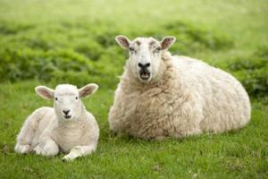 Hur till Groom ett får