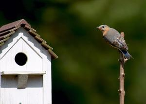 Hur långt isär bluebird hus bör?