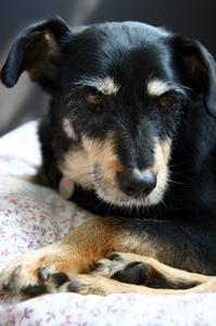 Hur man behandlar Cushing sjukdom hos hundar