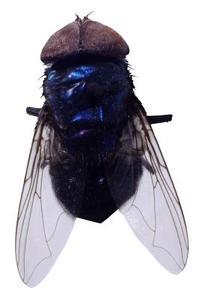 Hur man dödar Blow Flugor